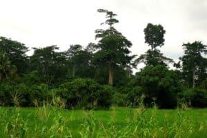 Mischkulturen Reis, Mais, Kakao und Bäume