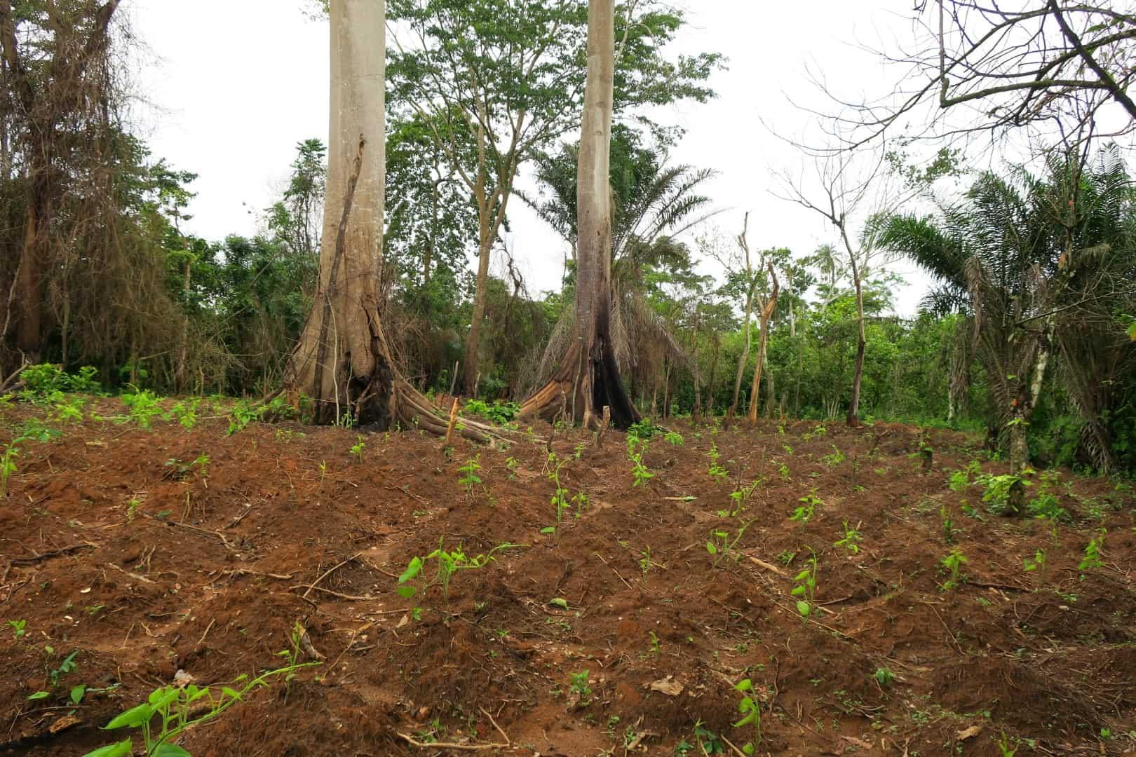 Regenwald Abholzung Elfenbeinküste